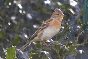 Brambling in St Ippolyts by Micheal Hooper