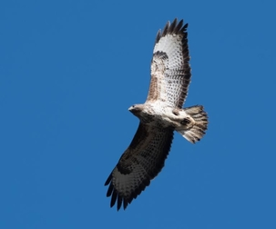 Buzzard at East Hyde by Derek Girvan