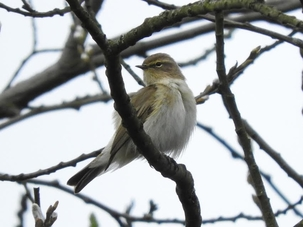 Chiffchaff at Cheshunt by Roger Buxton