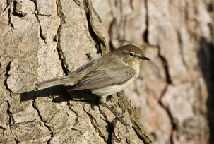 Chiffchaff at Sherrardspark Wood by Simon West