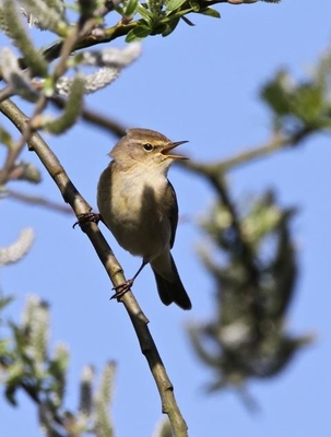 Chiffchaff at Tyttenhanger by Simon West