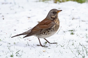 Fieldfare in Bishop's Stortford by Keith Overall