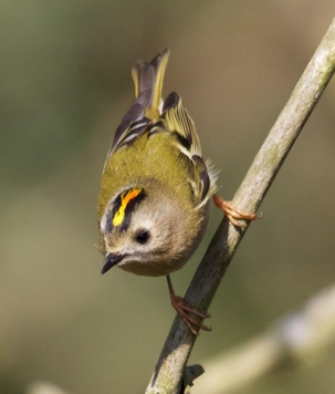 Goldcrest at Walkern by Gary Sanderson