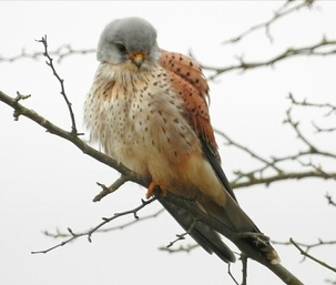 Kestrel at Amwell by Mary Smith