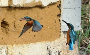 Kingfishers at Rye Meads by Brian Gleeson