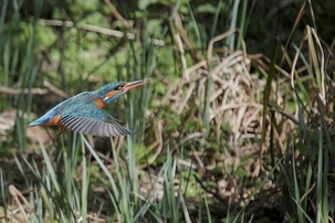 Kingfisher at Rye Meads by Ray Kilham