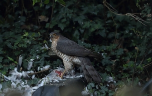 Sparrowhawk at Hitchin by Rob Stubbs