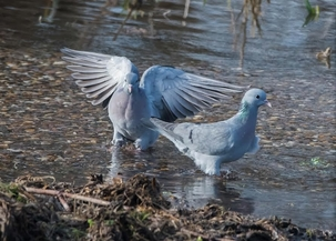 Stock Doves at Lemsford Springs by Derek Girvan
