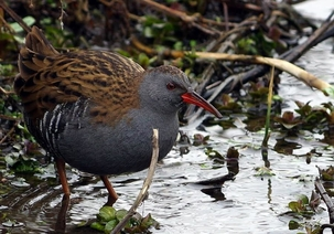 Water Rail at East Hyde by David Lyons