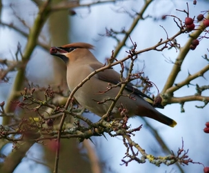 Waxwing at Stevenage by Gary Sanderson