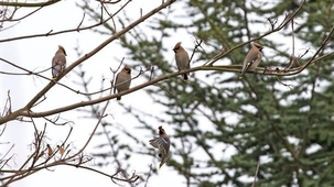 Waxwings at Stevenage by Huw Lewis