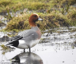 Wigeon at King's Meads by Katy Smith