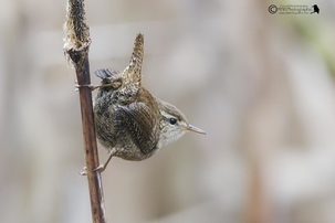 Wren at Rye Meads by Ray Kilham