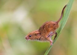 Harvest Mouse © Simon West