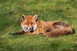 Fox © Restless Fiona