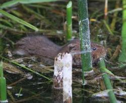 Water Vole at Amwell NR © Alan Reynolds