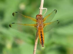 Scarce Chaser © Barry Reed